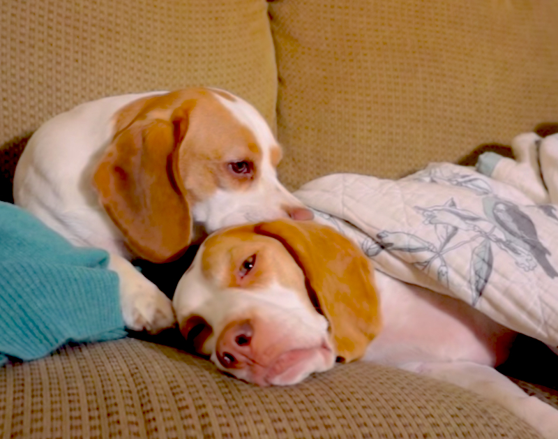 Cuteness Break: Watch this little beagle sister refuse to let her brother take a nap