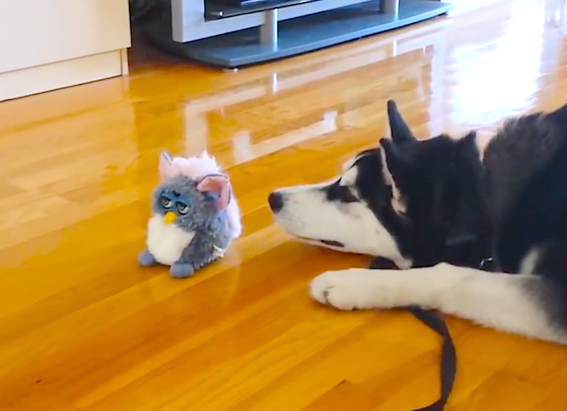 Cuteness Break: This Husky realizes just how weird Furby dolls can be!