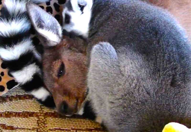 True love: This kangaroo and lemur take care of each other like BFFs!