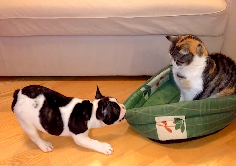 French Bulldog tries to reclaim his bed from a cat that will not be moved