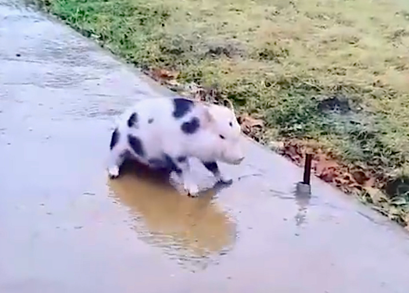Watch this little piglet slip and slide while trying to walk on a frozen sidewalk