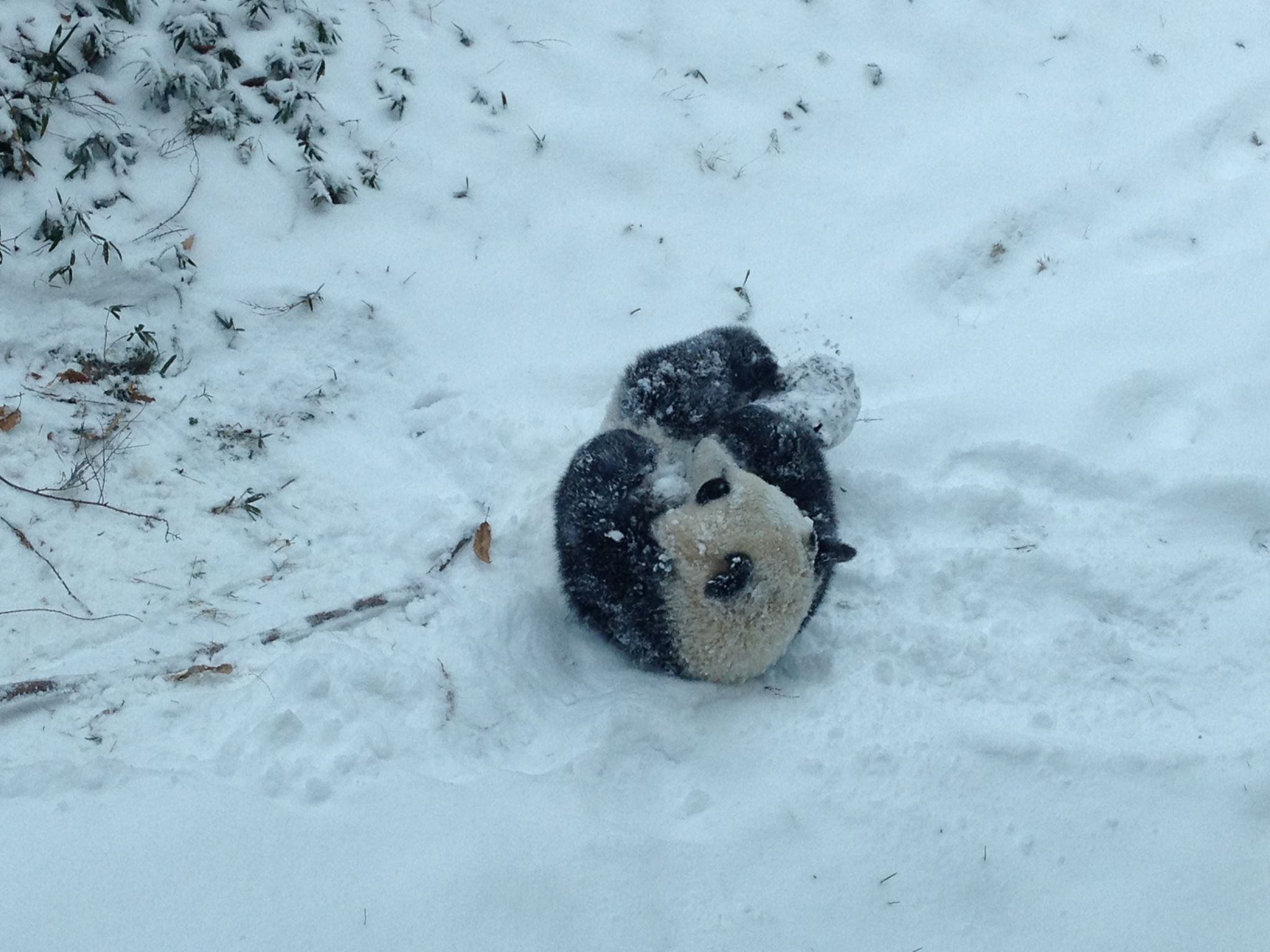 This is what happiness looks like, Bao Bao the panda experiences her first real snow!