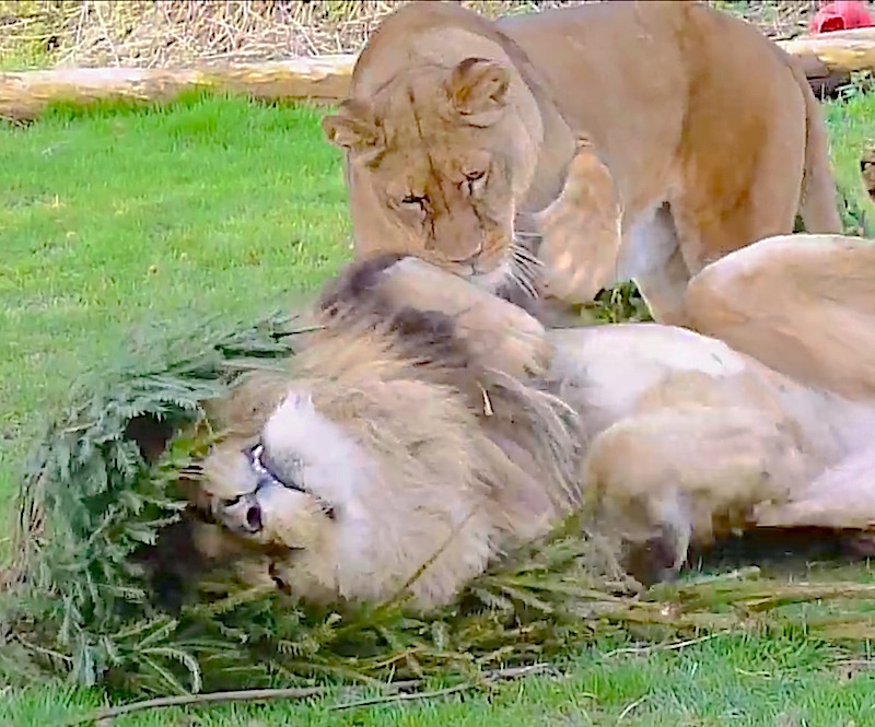 African Lions at Linton Zoo are in love with old Christmas trees like they're catnip!