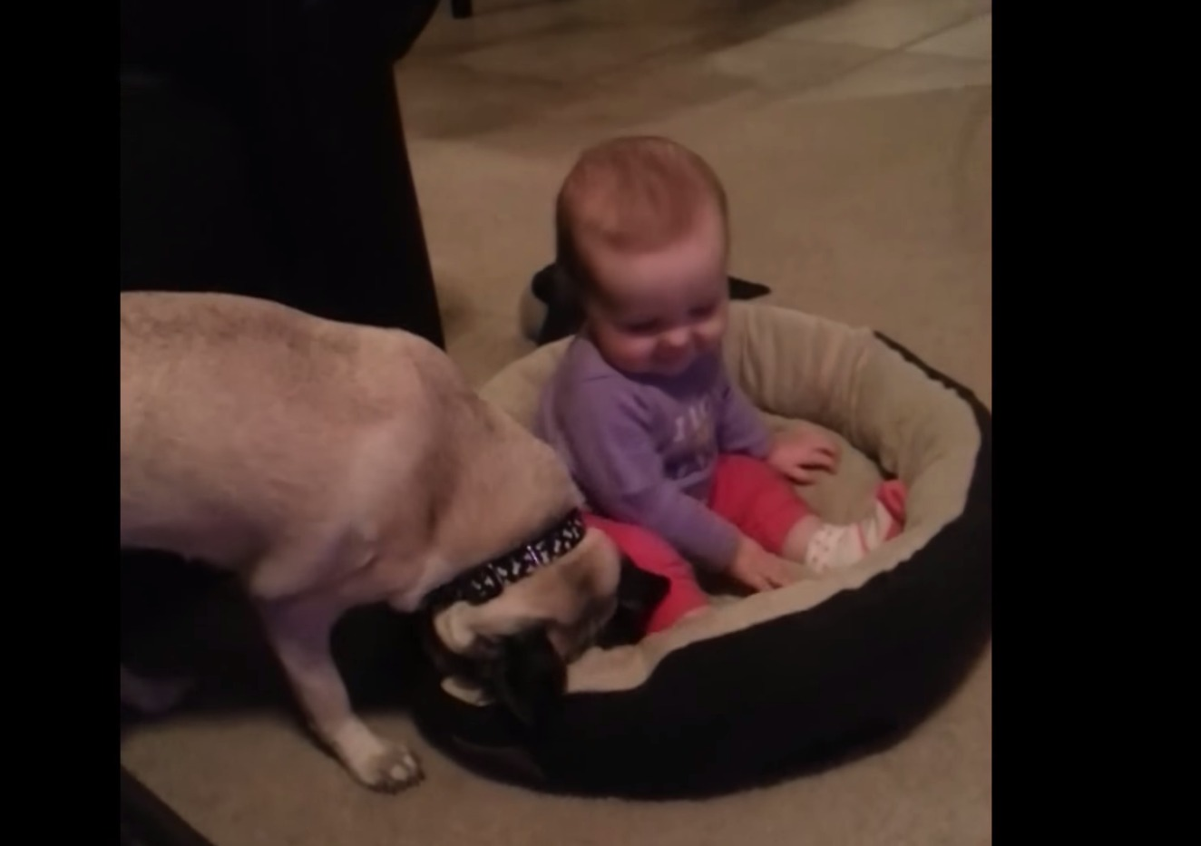 The battle is on between this pug and the mischievous baby who stole its bed
