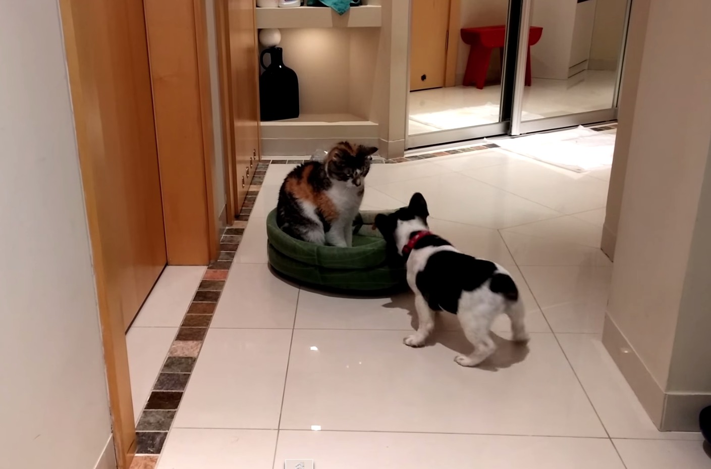 Pixel the French Bulldog gets his bed back, shows the cat who's boss!