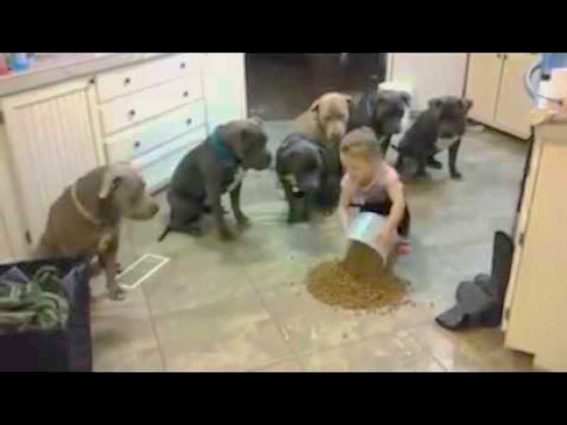 It's feeding time and this 4-year-old little girl feeds 6 grown pit bulls like a tiny boss!