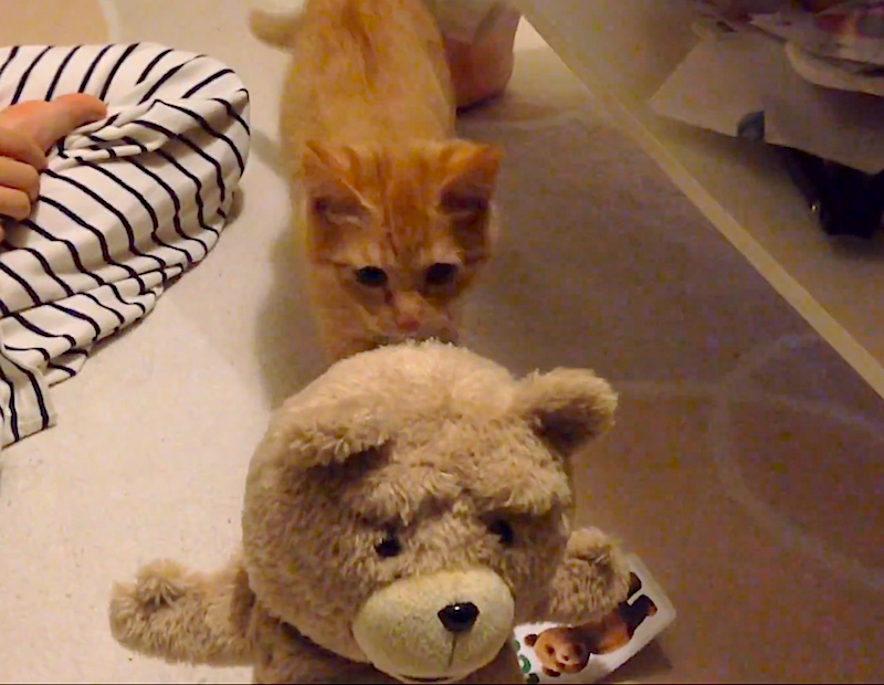 Cuteness Break: This kitten really does not like the bear from the movie 'Ted'