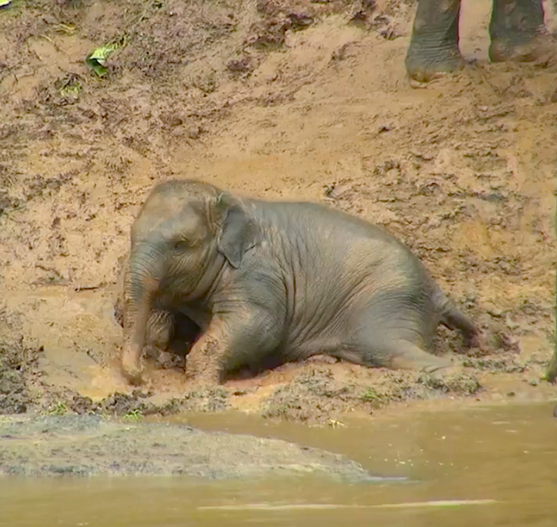 While Playing In The Rain This Baby Elephant Has A Blast