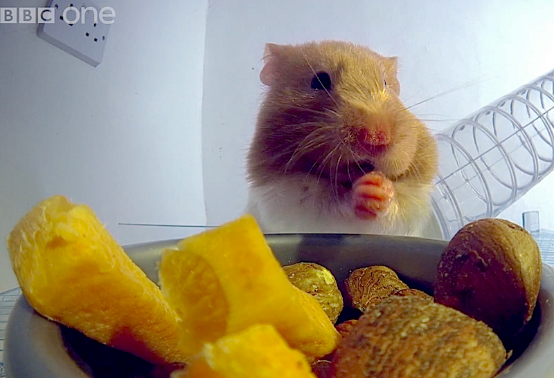 Cuteness Break:Go inside of a hamster's cheeks & find out where they stuff all that food!