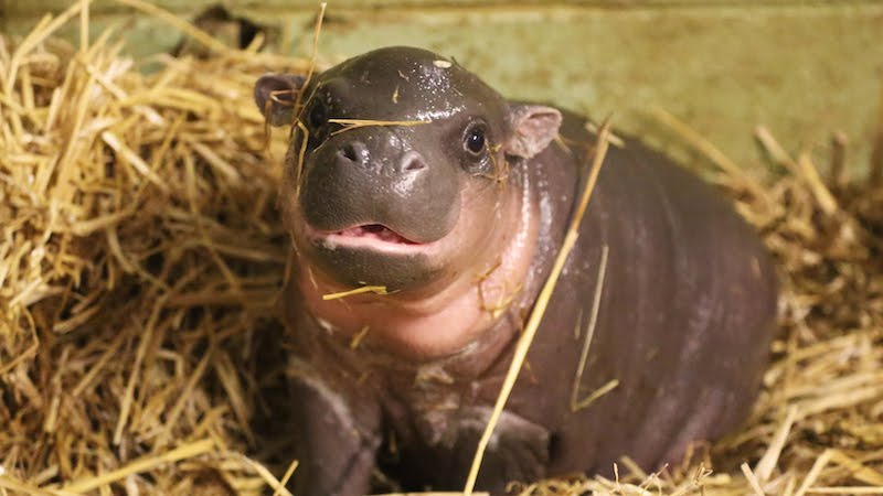 You will instantly fall in love with this newborn pygmy hippo!