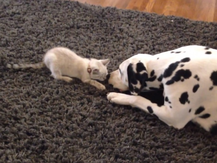 Squirt the kitten found her new favorite toy, Lady the Dalmatian's tail!