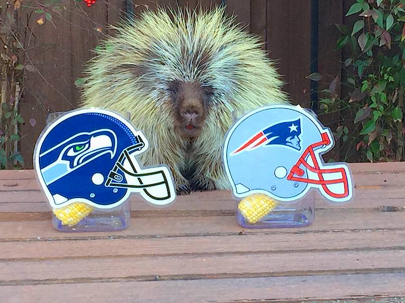 Teddy Bear the Porcupine tells us who will win Super Bowl 2015!