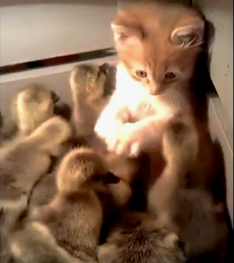 Cuteness Break: This kitten is totally overwhelmed by a box of ducklings