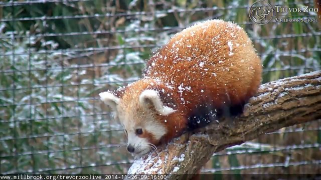 These baby red pandas are so excited to frolic in the snow!