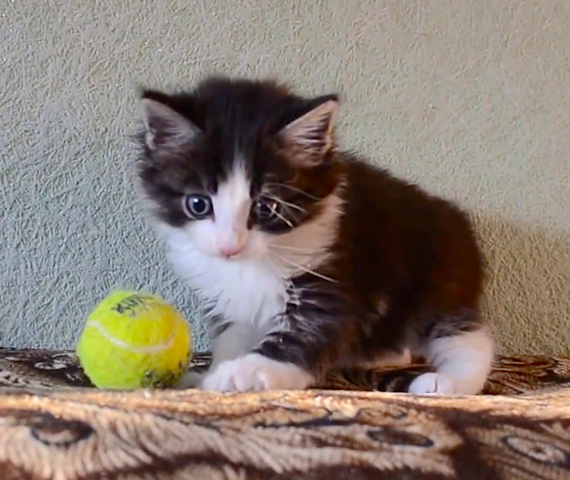 The happiest little kitten has too much fun playing with a tennis ball