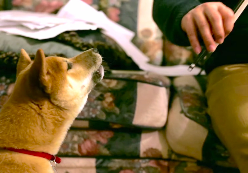 Cuteness Break: Shiba Inu puppy tries to sing along with a violin!