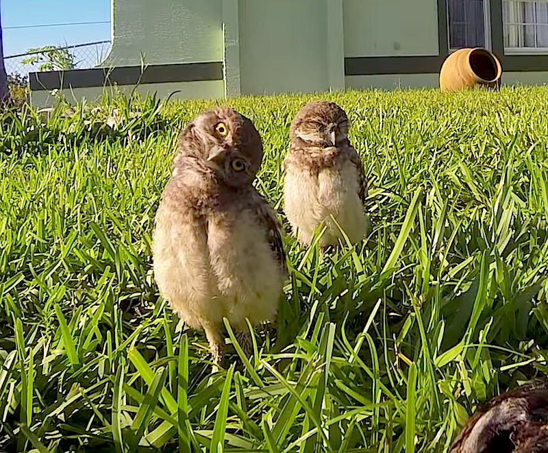 These two owls are having a dance-off, they just don't know it