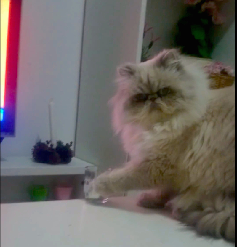 This cat gives none! Watch it knock its owners glass right off the table!