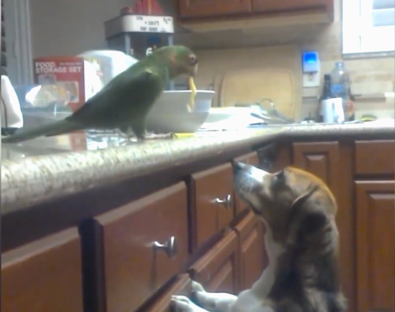 This bird and Beagle have figured out a creative way to eat spaghetti together