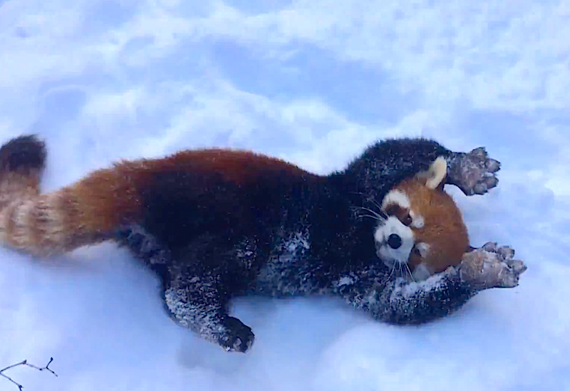 SNOW much fun: Watch baby red pandas play together in the falling snow!