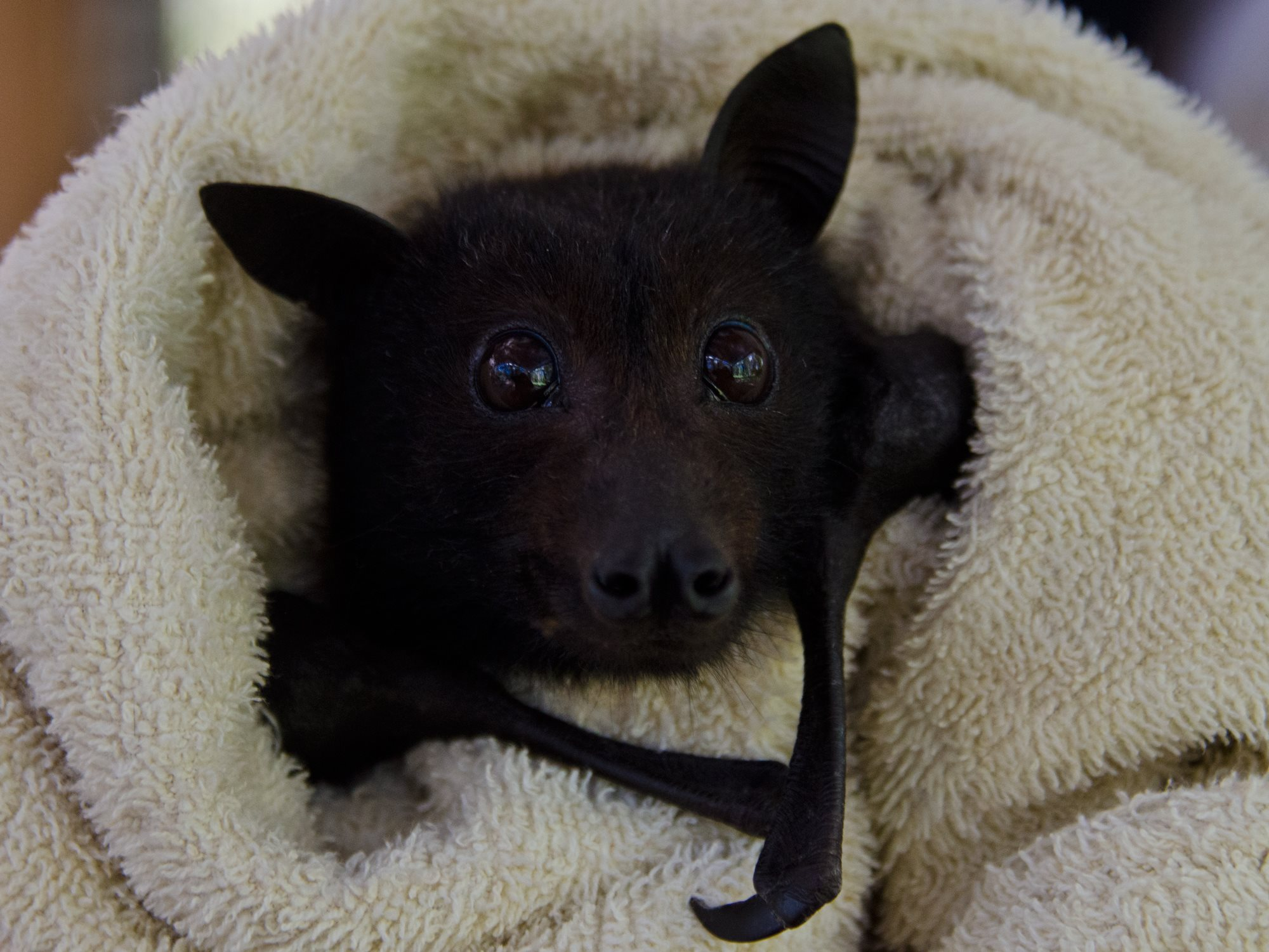 Because It's Cute: A hungry baby bat eating a banana in bed