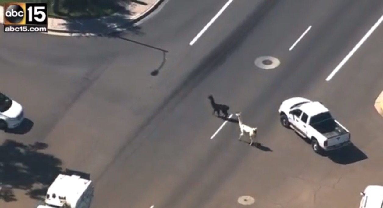 So the story of the day is totally the llamas who went rogue