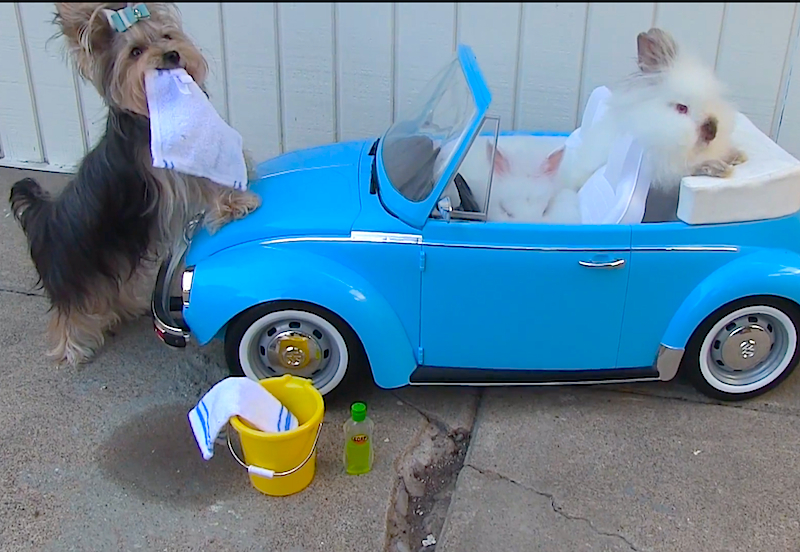 Prepare for the cuteness overload of a Yorkie helping two bunnies wash their car