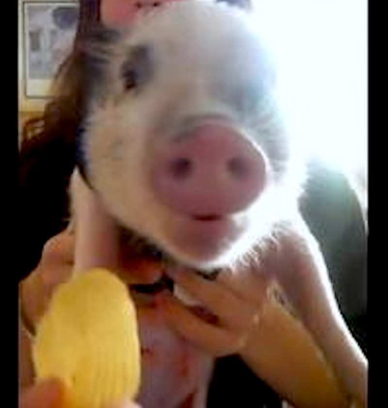 Just listen to the happy noise this cute pig makes while eating chips!