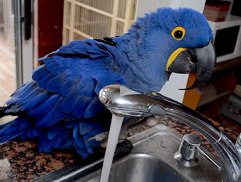 Cuteness Break: Meet Miss Iris, the beautiful Macaw who likes to bathe in the sink!