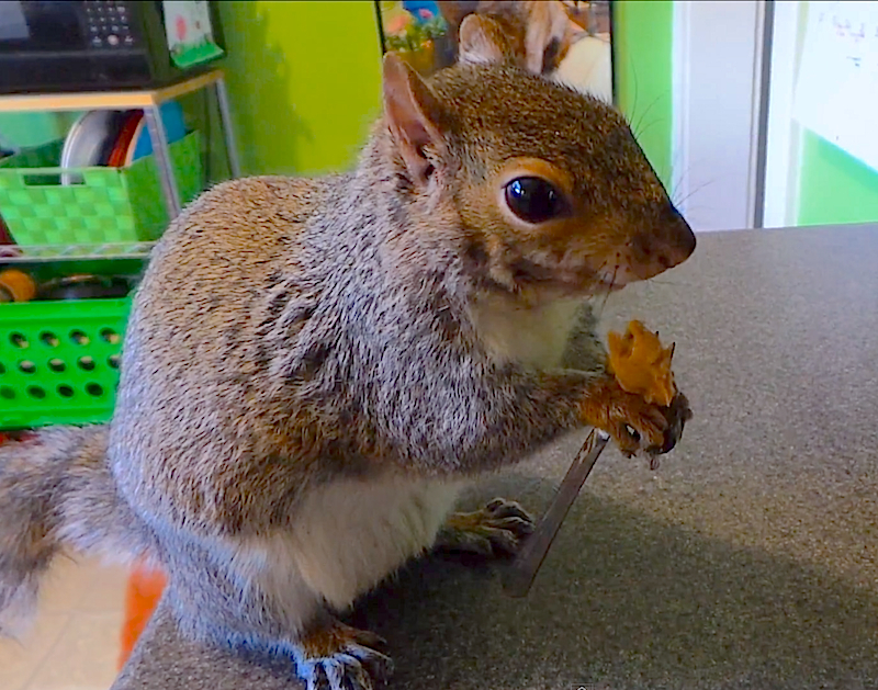 Because table manners are important, Wally the squirrel eats his almond butter with a fork!