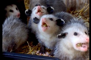 Because It's Cute: Watch six baby opossums munching on a fruit salad