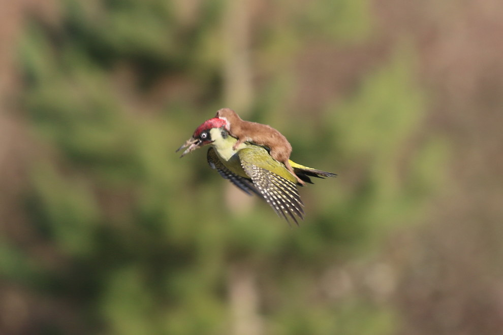 Stop life and check out this weasel flying on a woodpecker's back