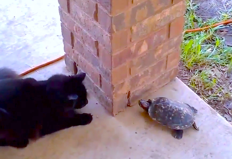 Cuteness Break: A cat and turtle are playing an extremely cute game of tag!