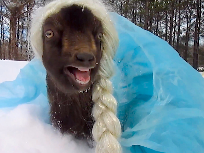 Only a goat dressed up as Frozen's Queen Elsa could make this everlasting winter funny