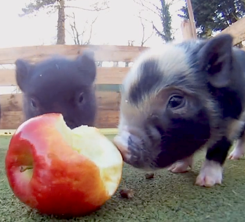 Cuteness Break: A bunch of baby micro pigs go HAM on an apple together