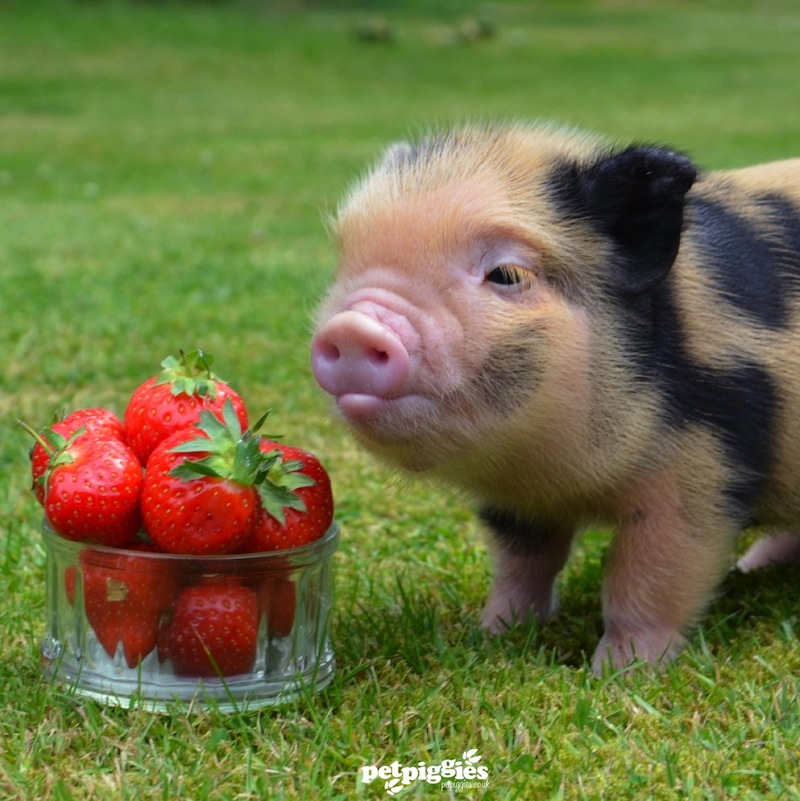A pop-up picnic with a bunch of micro-pigs? Say no more.