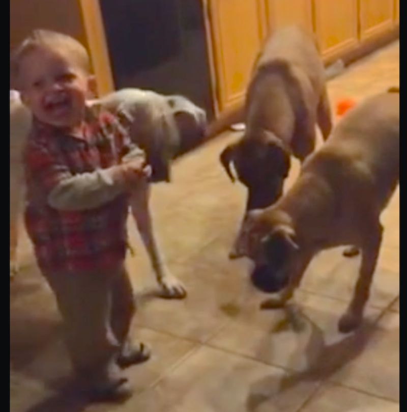 This toddler just realized he loves chasing around a laser pointer as much as his dogs