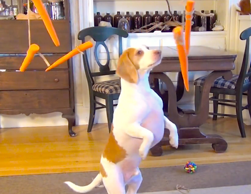 Watch Maymo the beagle chase flying carrots around the living room!