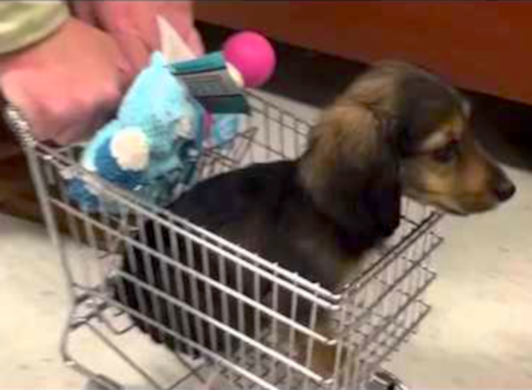Cuteness Break: Dachshund puppy gets pushed around a store in a toy shopping cart!