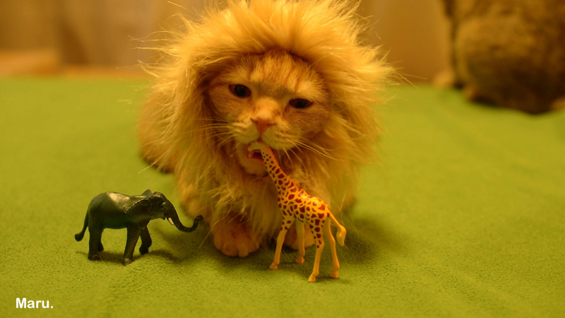 This is not actually a lion, it's just a ridiculously cute kitten who thinks she's a lion!