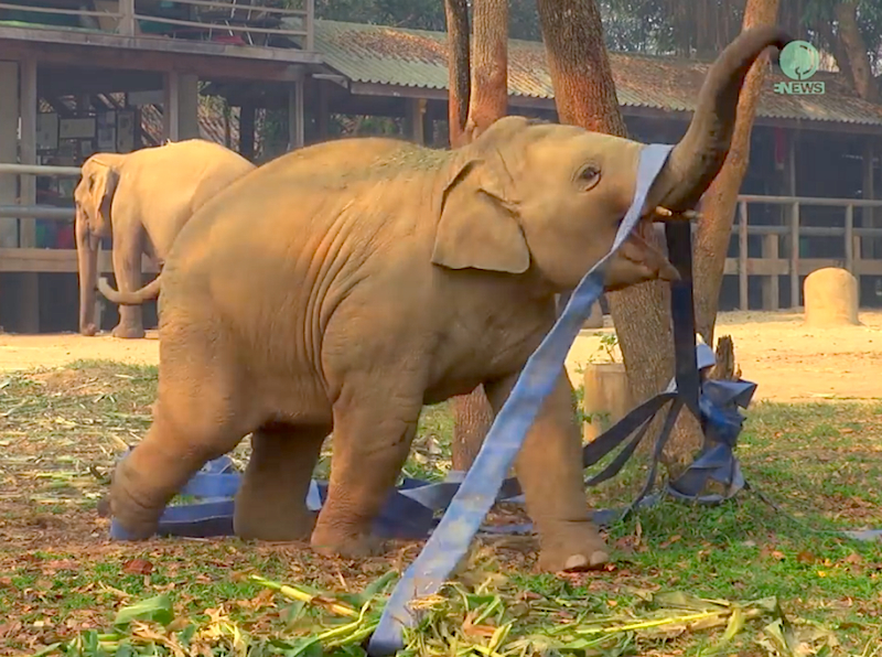 Watch this baby elephant have fun ribbon dancing all by himself!