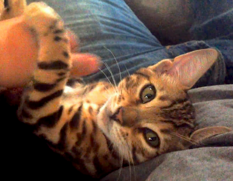 Cuteness Break: Molly, the Bengal kitten, is a great conversationalist!