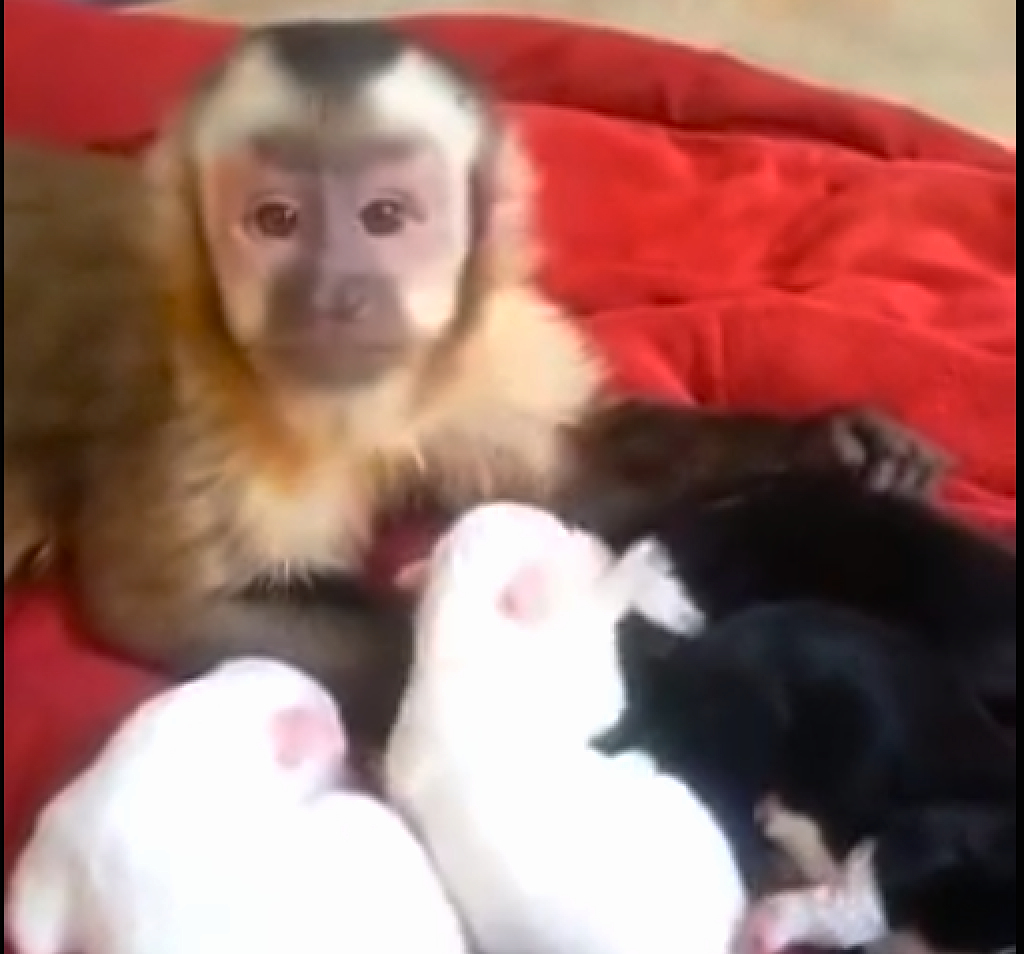 This monkey is thoroughly in love with these newborn puppies!