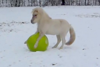 Watch a miniature horse play in the snow all by himself with a yoga ball