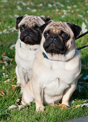This pug wedding is the dose of adorable you need in your life