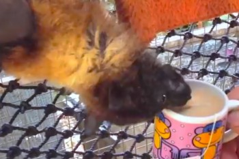 Cuteness Break: Bat sips a cup of tea, like only a bat could, and drives his friends batty!