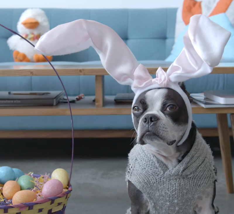 Our favorite Roomba-riding Boston Terrier is back for Easter and dressed as a bunny!