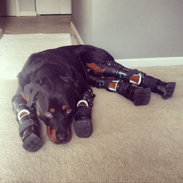 Brutus the dog walks on four prosthetic legs and wins all of our hearts