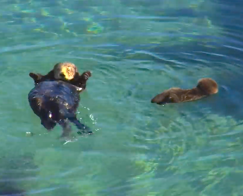 Otterly Adorable: Watch this wild baby sea otter get swimming lessons from mom!