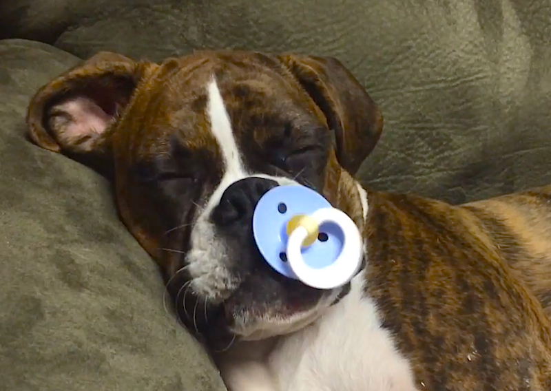 Because It's Cute: Boxer puppy sucks a pacifier and falls fast asleep